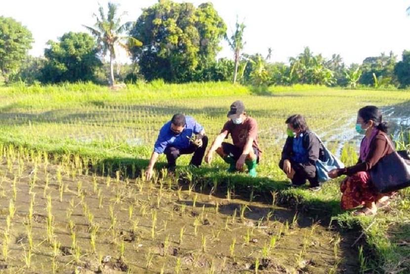petani-dan-penyuluh-bergegas-panen-padi-di-penghujung-musim_200621022611-129.jpg