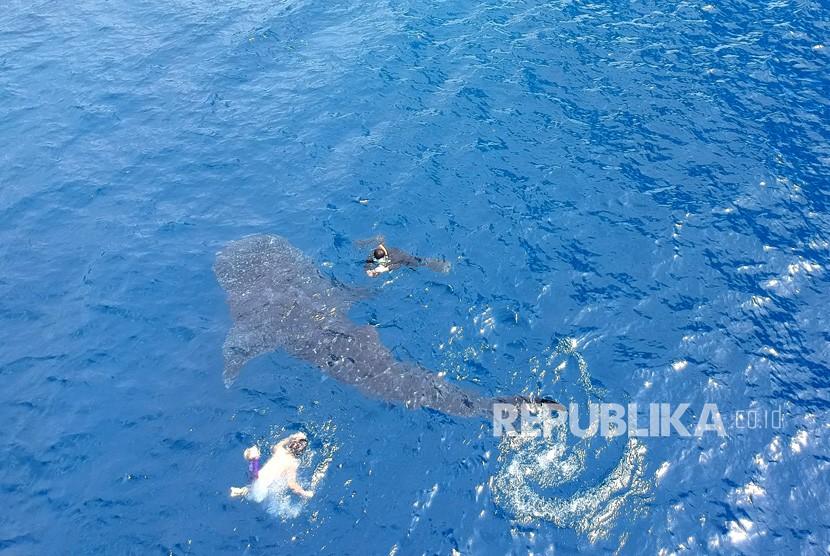 sejumlah-pengunjung-berenang-bersama-hiu-paus-yang-kembali-datang-_200116143849-196.jpg