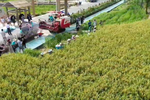Melihat panen padi hibrida raksasa di Chongqing, China